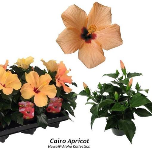 Hibiscus rosa-sinensis 'Cairo Apricot' (Gasa DK)