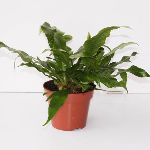 Aglaomorpha coronans 'Snake Leaf' (Ruhé Varens B.V.)
