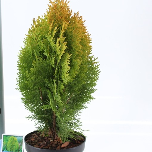 Thuja occidentalis 'Aurea Nana' (About Plants Zundert BV)