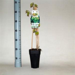 Vitis 'Vroege van der Laan' (BOGREEN Outdoor Plants)