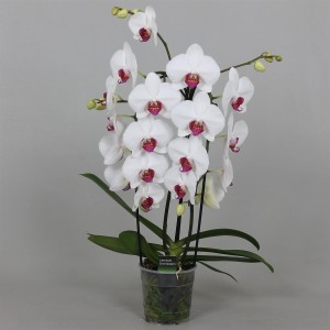 Phalaenopsis 'Red Lips'
