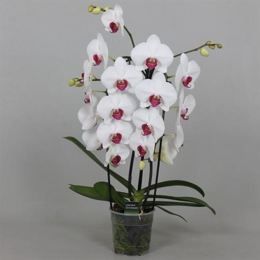 Phalaenopsis 'Red Lips' (Leerdam Orchideeën)