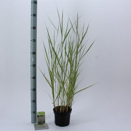 Panicum virgatum 'Prairie Sky' (About Plants Zundert BV)