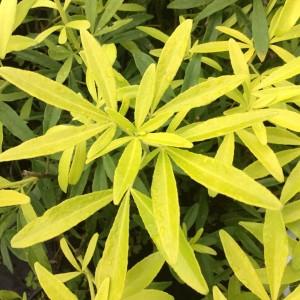 Choisya ternata GOLDFINGERS (About Plants Zundert BV)