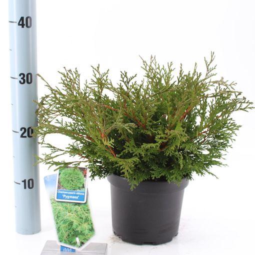 Chamaecyparis obtusa 'Pygmaea' (About Plants Zundert BV)