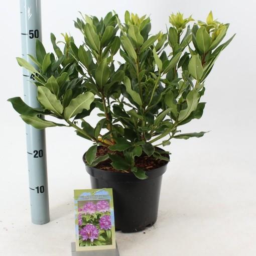 Rhododendron ponticum (About Plants Zundert BV)