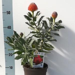 Leucospermum 'Ayoba Red' (Flora Toscana)