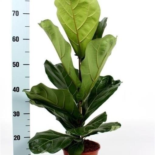 Ficus lyrata (De Wilgenlei b.v.)
