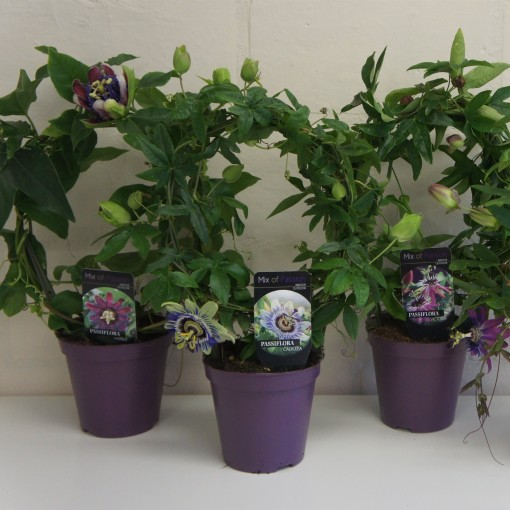 Passiflora MIX (Plantcare BVBA)