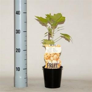 Ribes rubrum 'Witte Parel' (BOGREEN Outdoor Plants)