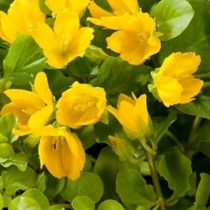 Lysimachia nummularia (Moerings Waterplanten)