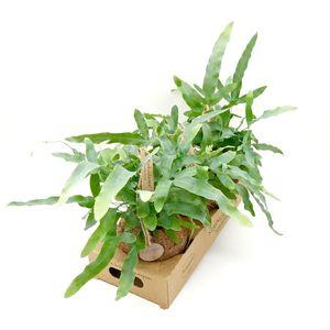 Phlebodium aureum (Kokodama)