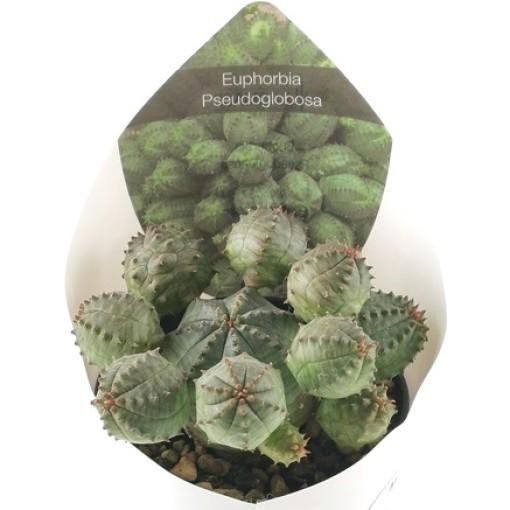 Euphorbia pseudoglobosa (Giromagi)