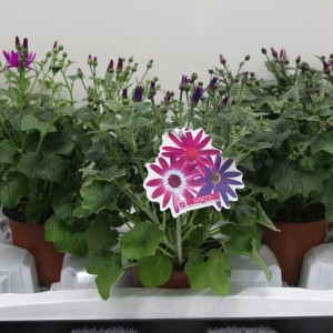Senecio SENETTI MIX (Experts in Green)
