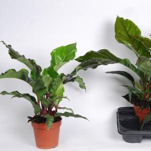 Anthurium BOTANICAL KING RED (Van der Arend Tropical Plantcenter)
