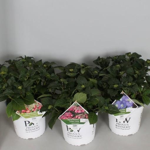 Hydrangea macrophylla FLAIR & FLAVOURS MIX (De Jong Plant BV)