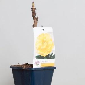 Paeonia suffruticosa MIX (De Jong Plant BV)