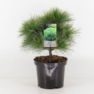 Pinus strobus 'Minima'