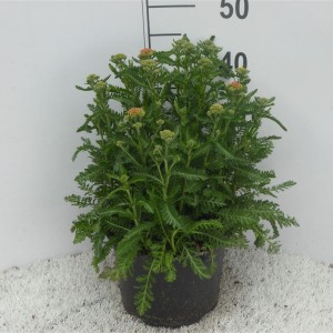 Achillea millefolium MIX