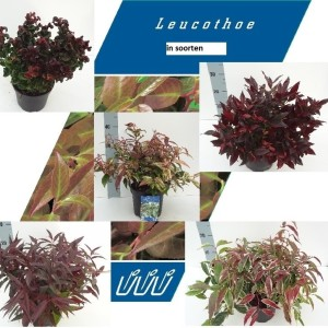 Leucothoe MIX (About Plants Zundert BV)