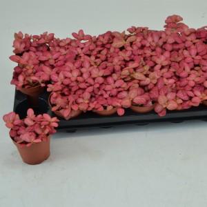 Fittonia verschaffeltii 'Pink Special'