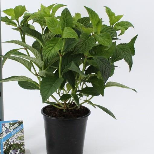Hydrangea serrata 'Bluebird' (About Plants Zundert BV)