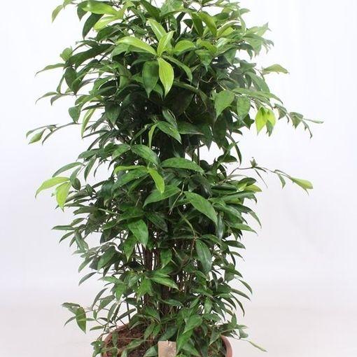 Dracaena surculosa (Fachjan)