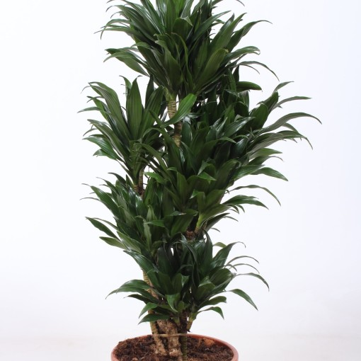 Dracaena fragrans 'Compacta' (Fachjan)