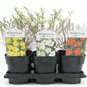 Potentilla fruticosa MIX