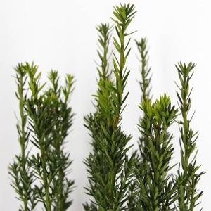 Taxus x media 'Hillii' (Bremmer Boomkwekerijen)