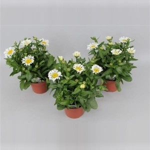 Leucanthemum x superbum 'Snow Lady' (Handelskwekerij Gebr. Grootscholten)