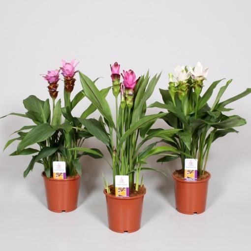 Curcuma MIX (BK Plant)
