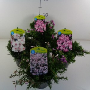 Phlox SUBULATA MIX