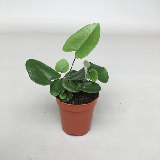 Hemionitis arifolia (van der Velden, Hkw.)