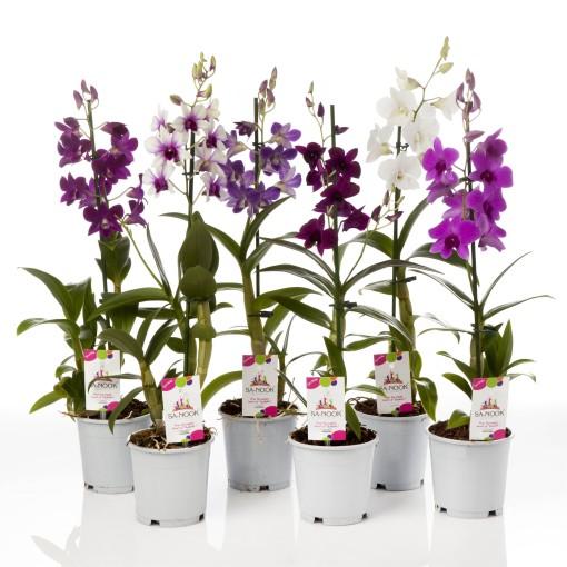 Dendrobium SA-NOOK MIX (Kwekerij Zeurniet)