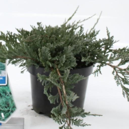 Juniperus horizontalis 'Blue Chip' (About Plants Zundert BV)