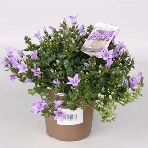Campanula portenschlagiana 'Ambella Lavender' (Endhoven Flowering Plants)