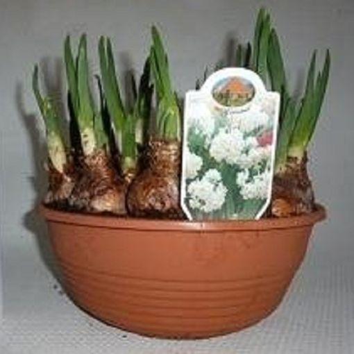 Narcissus 'Erlicheer' (Kwekerij MJ Komen)