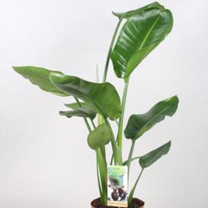 Strelitzia nicolai