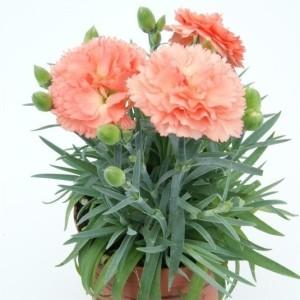 Dianthus SUPER TROUPER SORBET