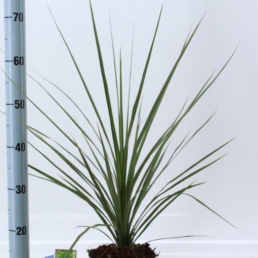 Cordyline australis 'Atlantic Green' (About Plants Zundert BV)