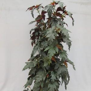 Begonia maculata 'Wild Romance'