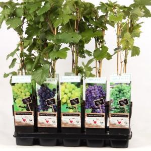 Vitis MIX (Hoogeveen Plants)