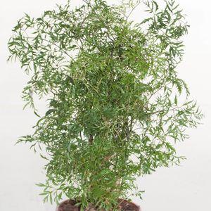 Polyscias fruticosa (Ubink)