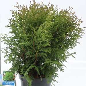 Thuja occidentalis 'Tiny Tim' (About Plants Zundert BV)