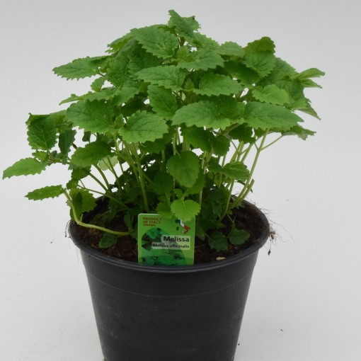 Melissa officinalis (Green Collect Sales)