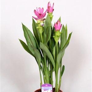 Curcuma alismatifolia BKORIENTAL LADY (BK Plant)