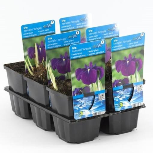 Iris ensata 'Variegata' (Moerings Waterplanten)
