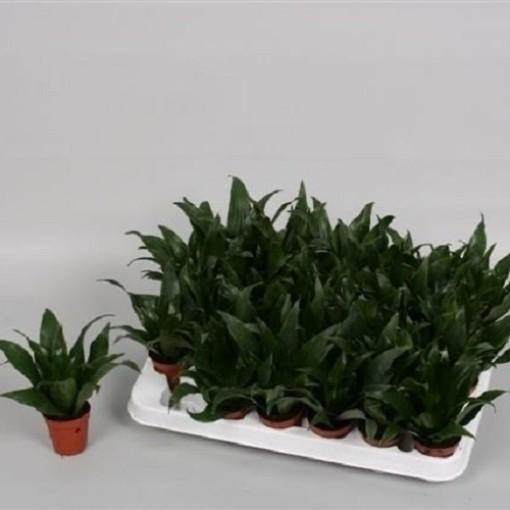 Dracaena fragrans 'Compacta' (Handelskwekerij van der Velden)