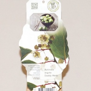 Actinidia arguta 'Weiki' (BOGREEN Outdoor Plants)
